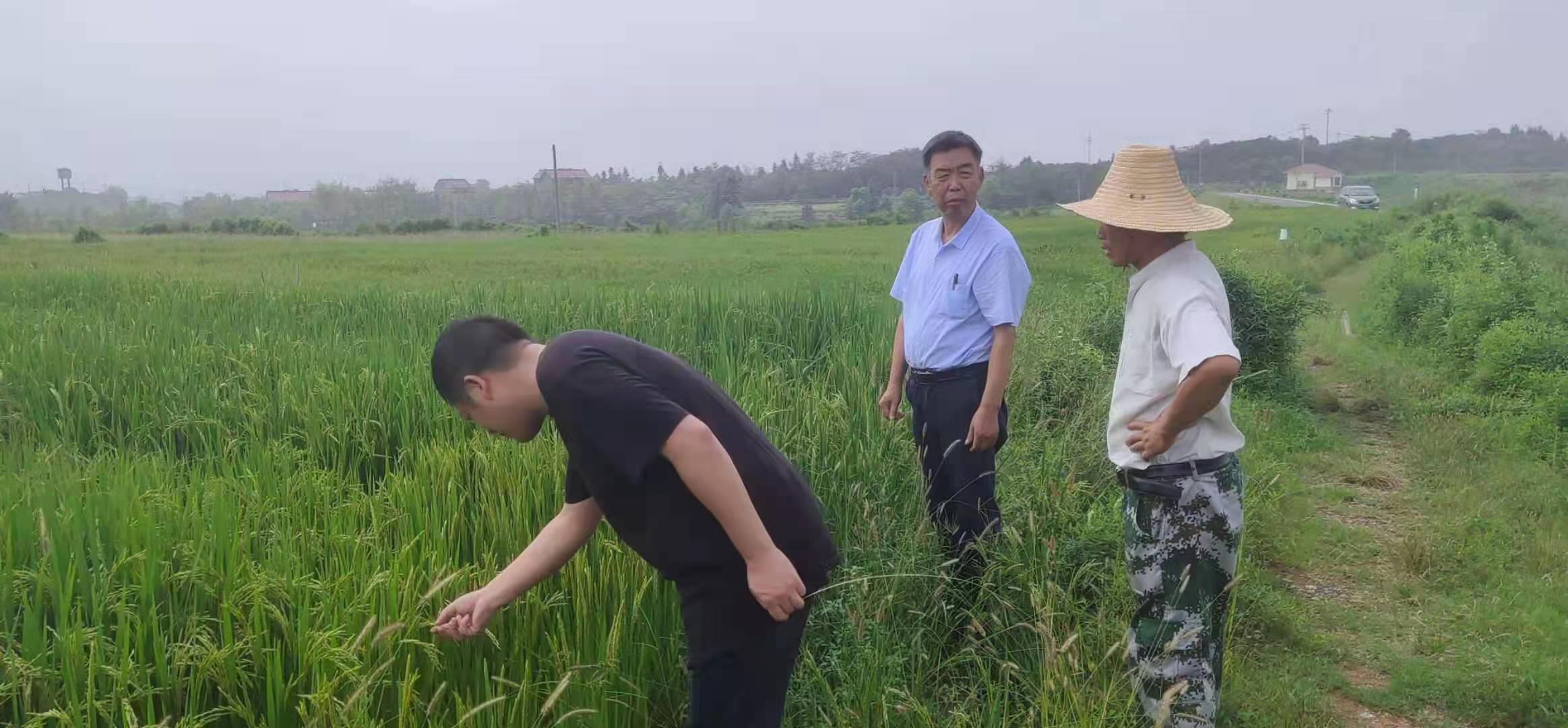 有机水稻优质高效栽培技术方案本